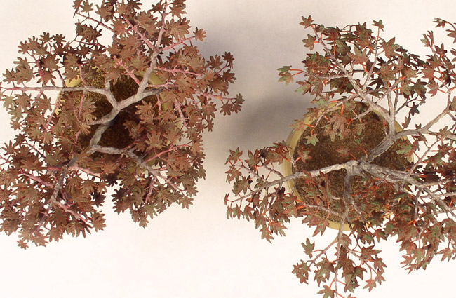 Two Japanese Maples shown from above
